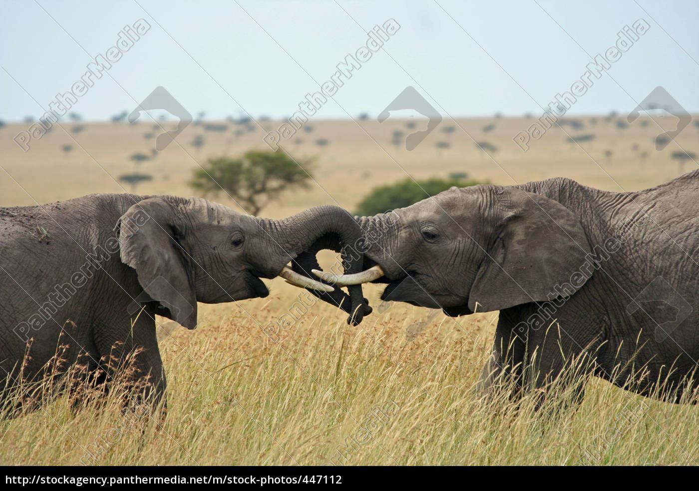 elefanten - 447112