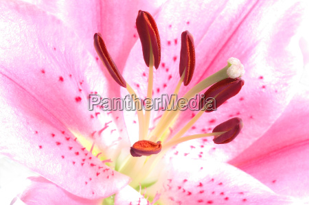 lily, in, pink - 452567