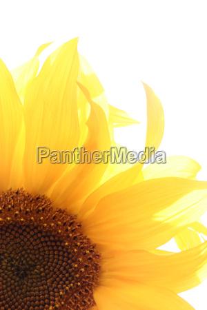 sunflower - 453226
