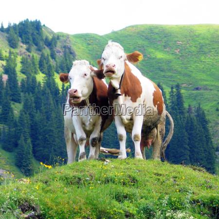 ruminant cows