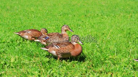 wild, duck, no., 1 - 458594