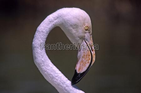 flamingo, phoenicopterus, ruber - 459981