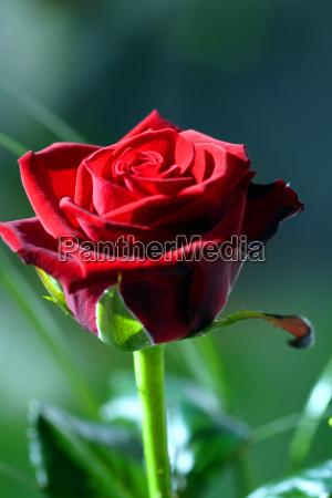 rose - 460610