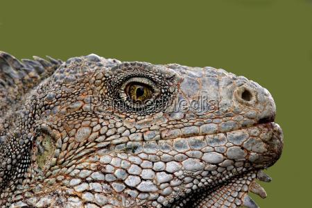 lizard - 462175
