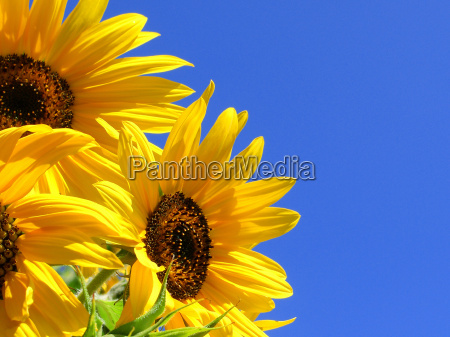 sunflowers, 27 - 462797
