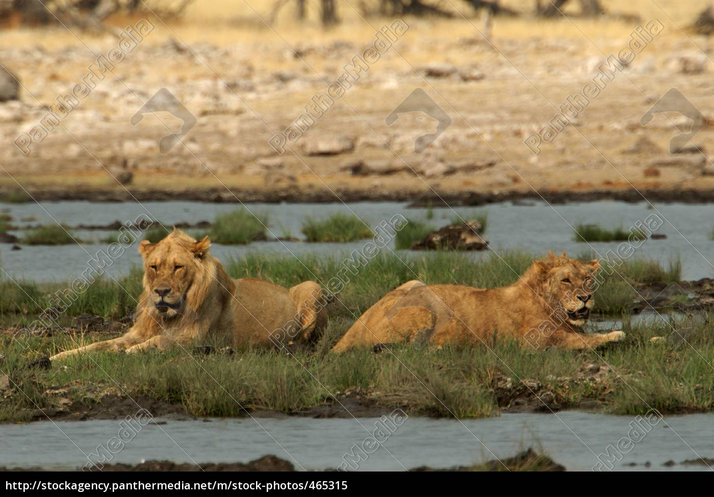 lions, while, relaxing - 465315
