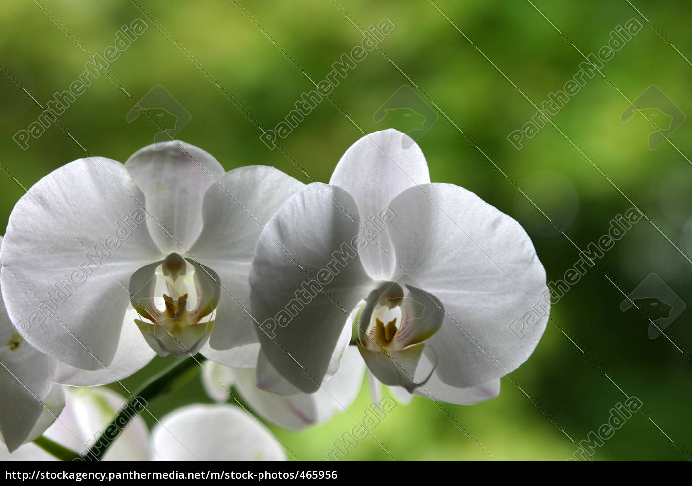 white, orchid - 465956