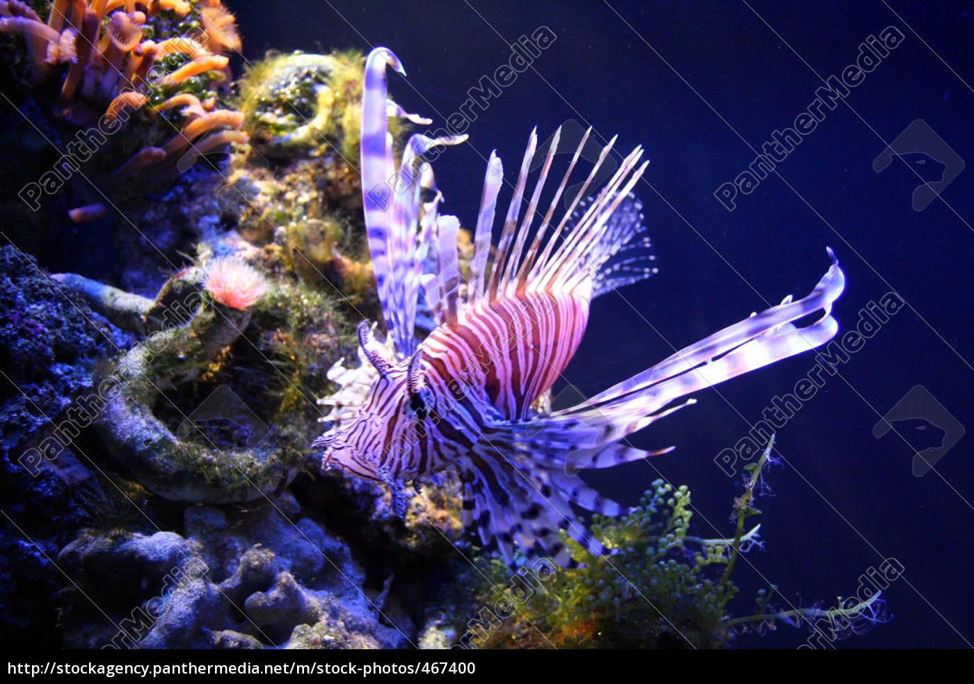 lionfish, (ornamental, fish) - 467400