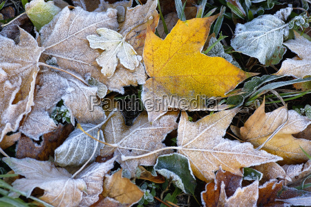 frosted, leaves - 469940