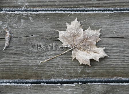 frosted, maple, leaf - 470363