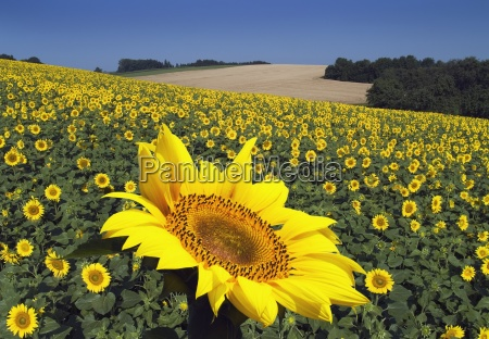 sunflower, field, ii - 474666