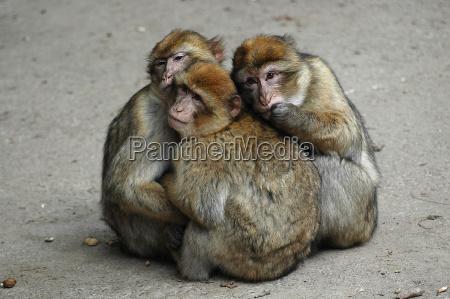 the, three, monkeys - 474050
