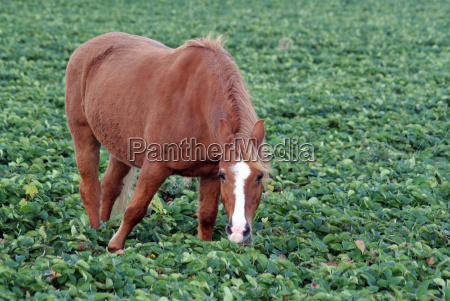 horse in strawberry field 1