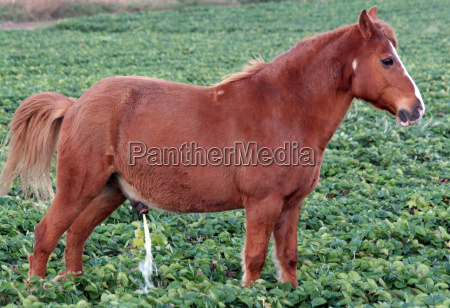 horse in strawberry field 2