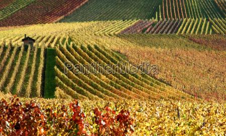 autumnal, vineyard - 476825