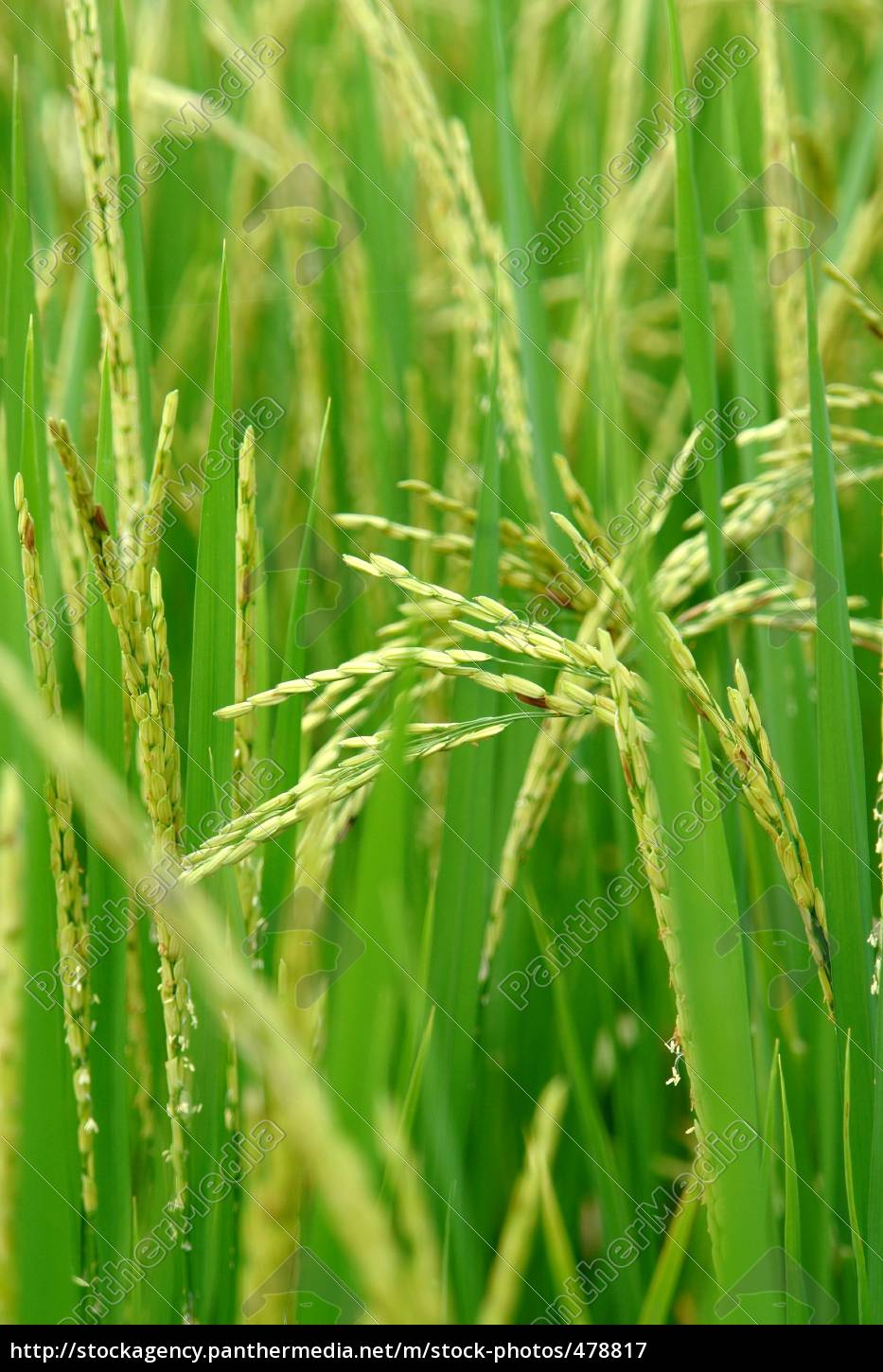detail, of, a, rice, plant - 478817