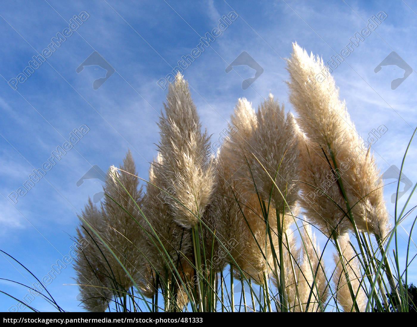 ornamental, grass - 481333