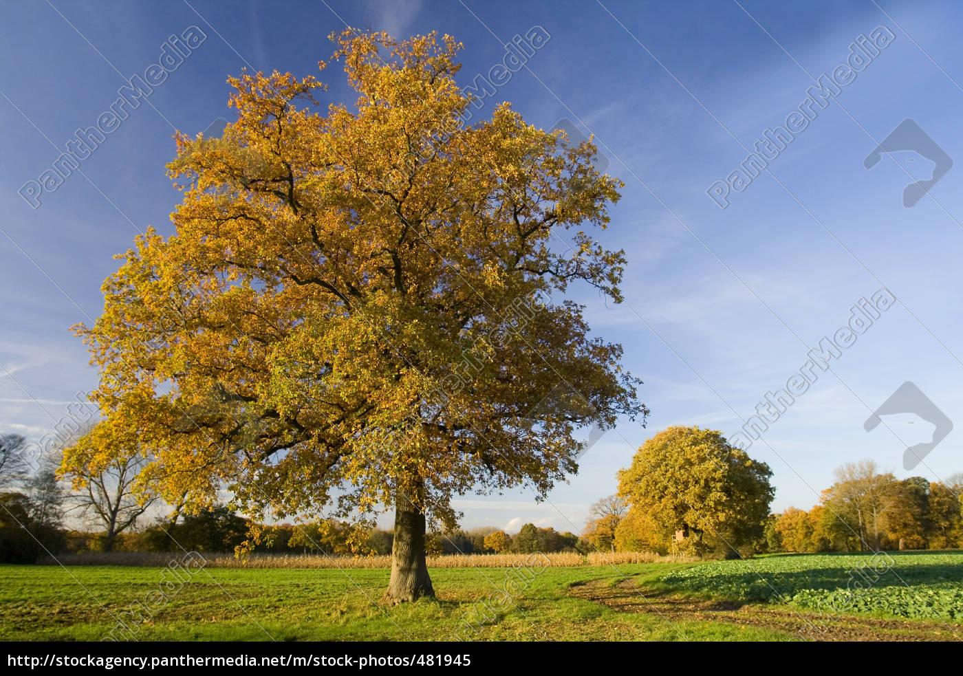 solitary, oak, tree, in, autumn - 481945