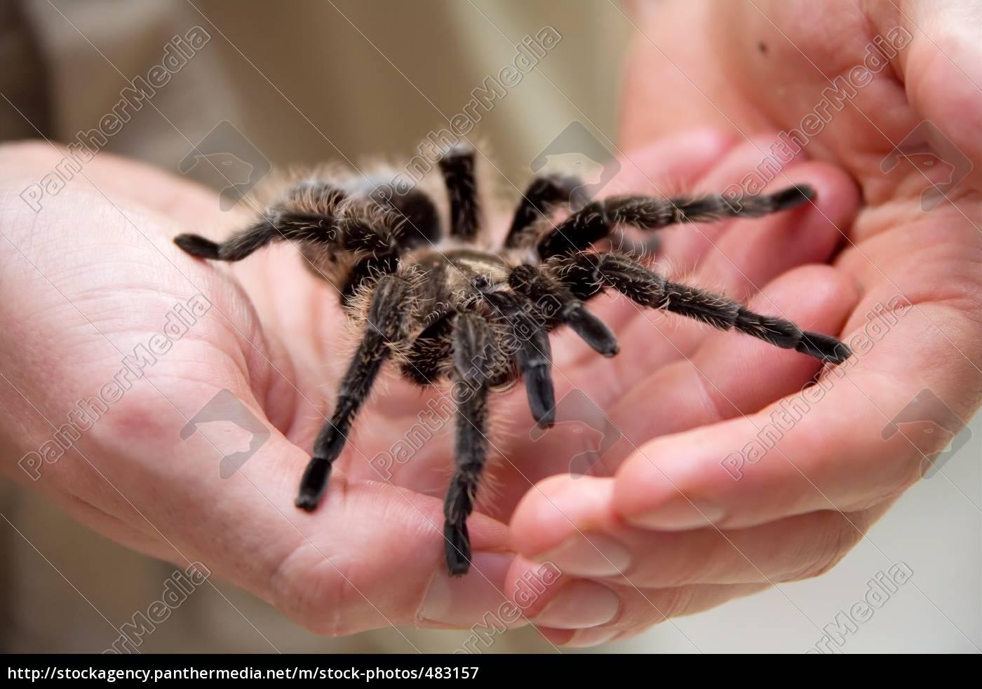 tarantula - 483157