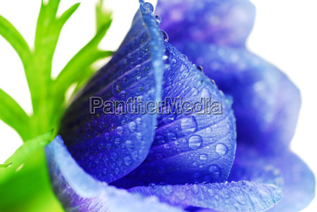 blue, anemone - 484022