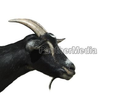 goat, ii - 484452