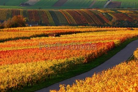 vineyards - 484010