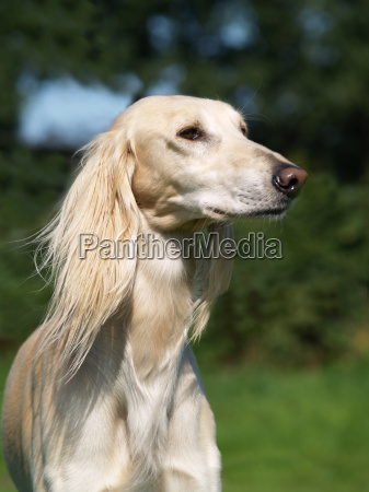 greyhound - 485477