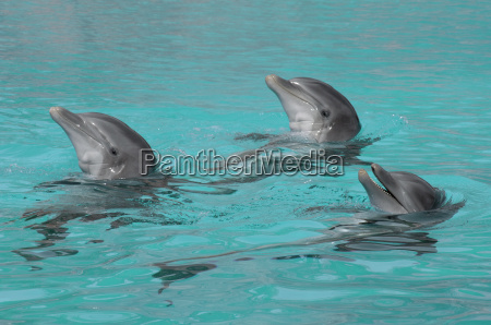 three, synchronized, swimming, dolphins - 486369