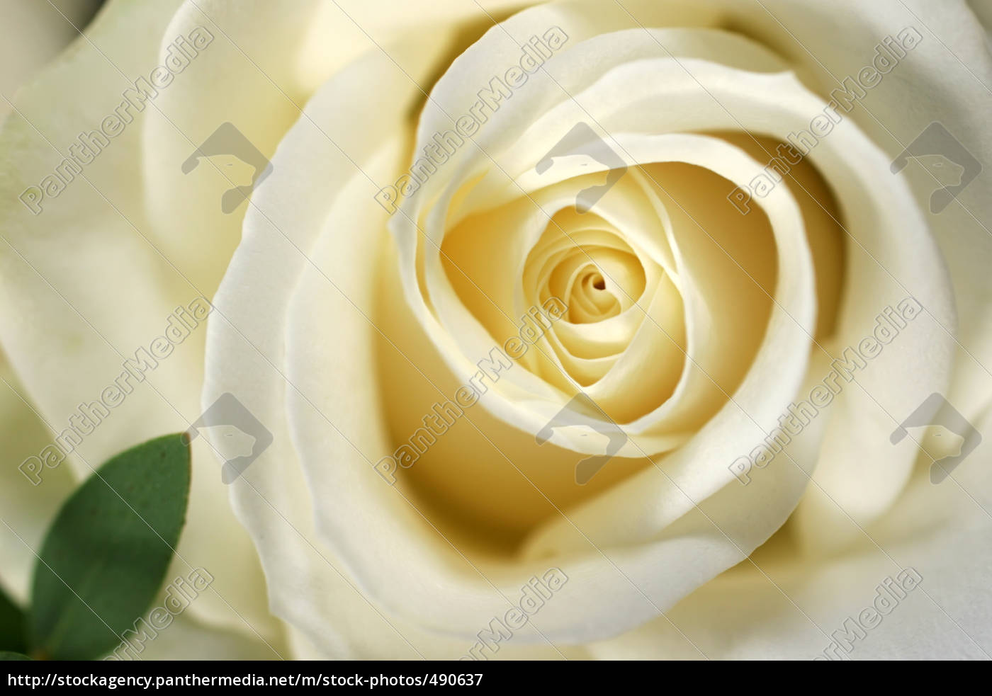 rose, picture - 490637