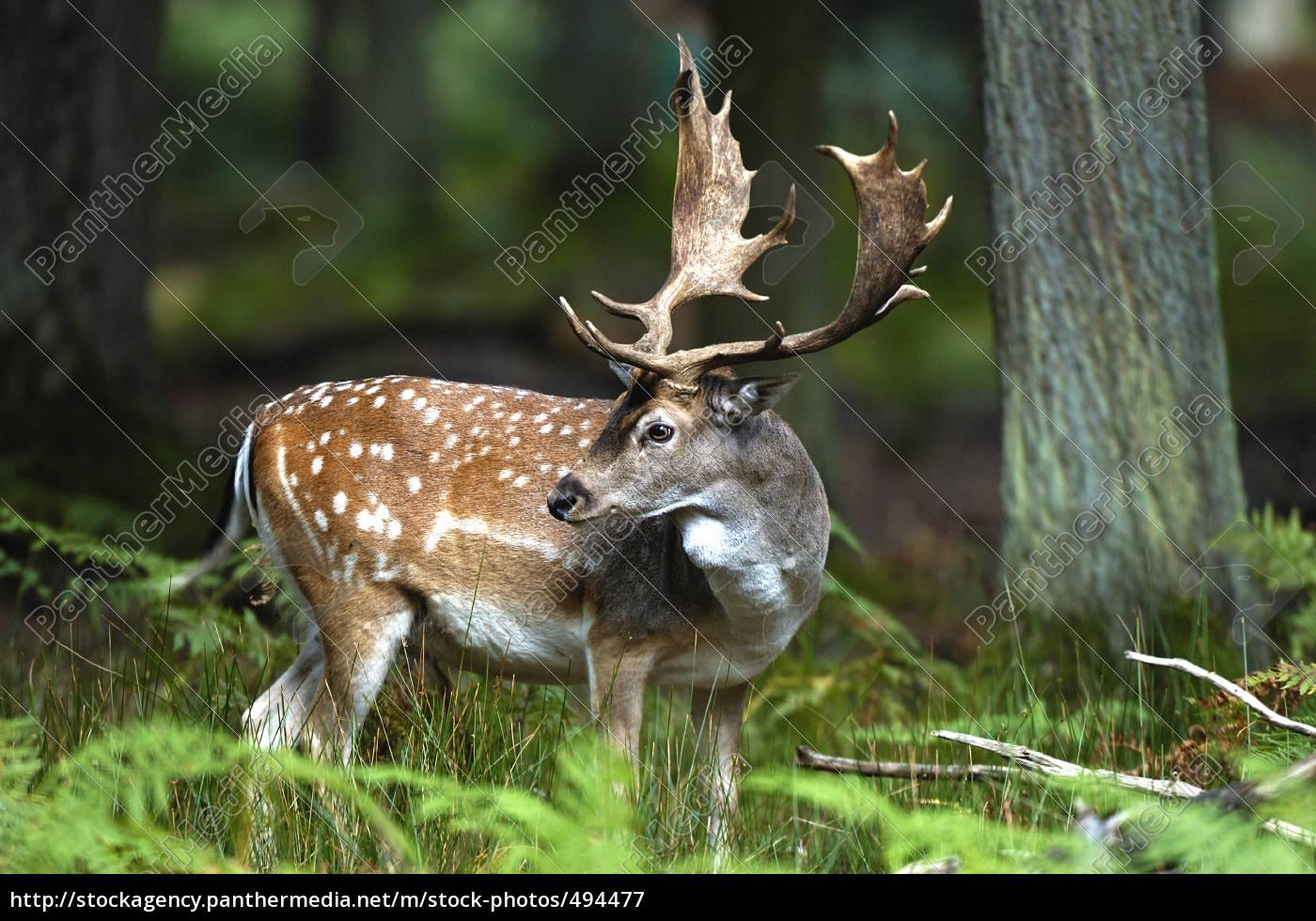 fallow, deer - 494477