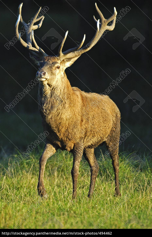 red, deer - 494462