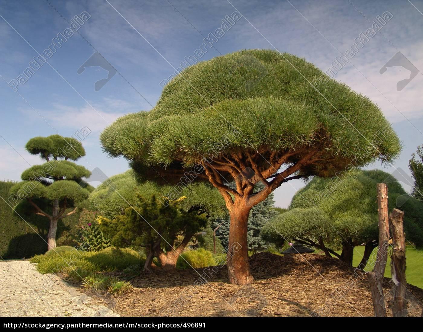 bonsai, 1 - 496891