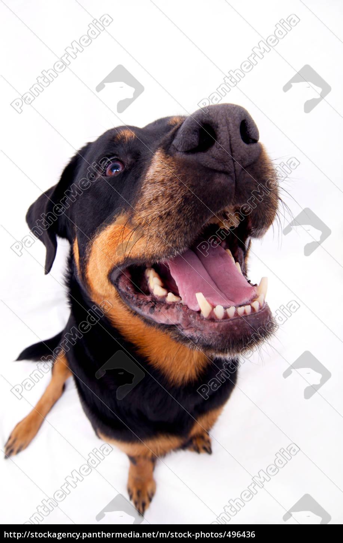 little, rottweiler, girl - 496436