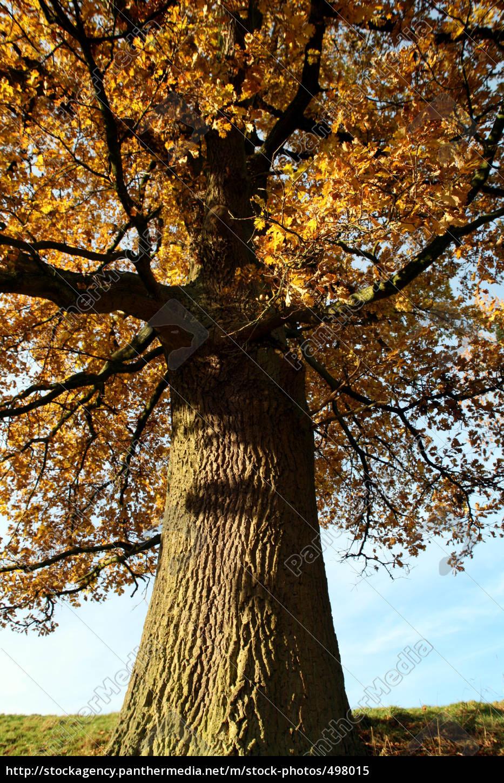 autumn, oak - 498015