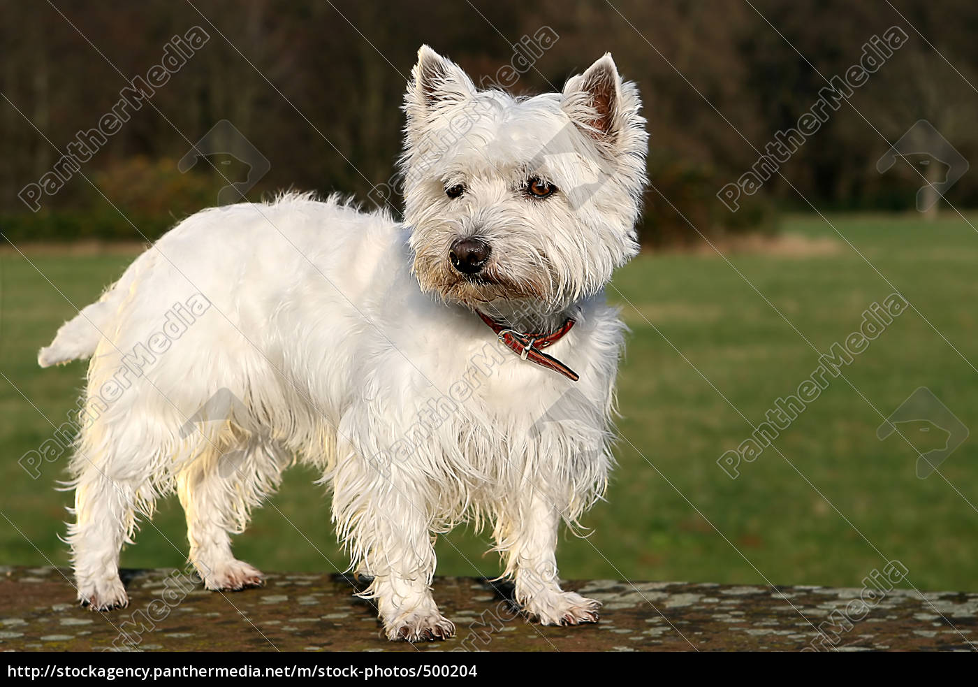 westie, in, the, park, at, mäuerchen, no.2 - 500204