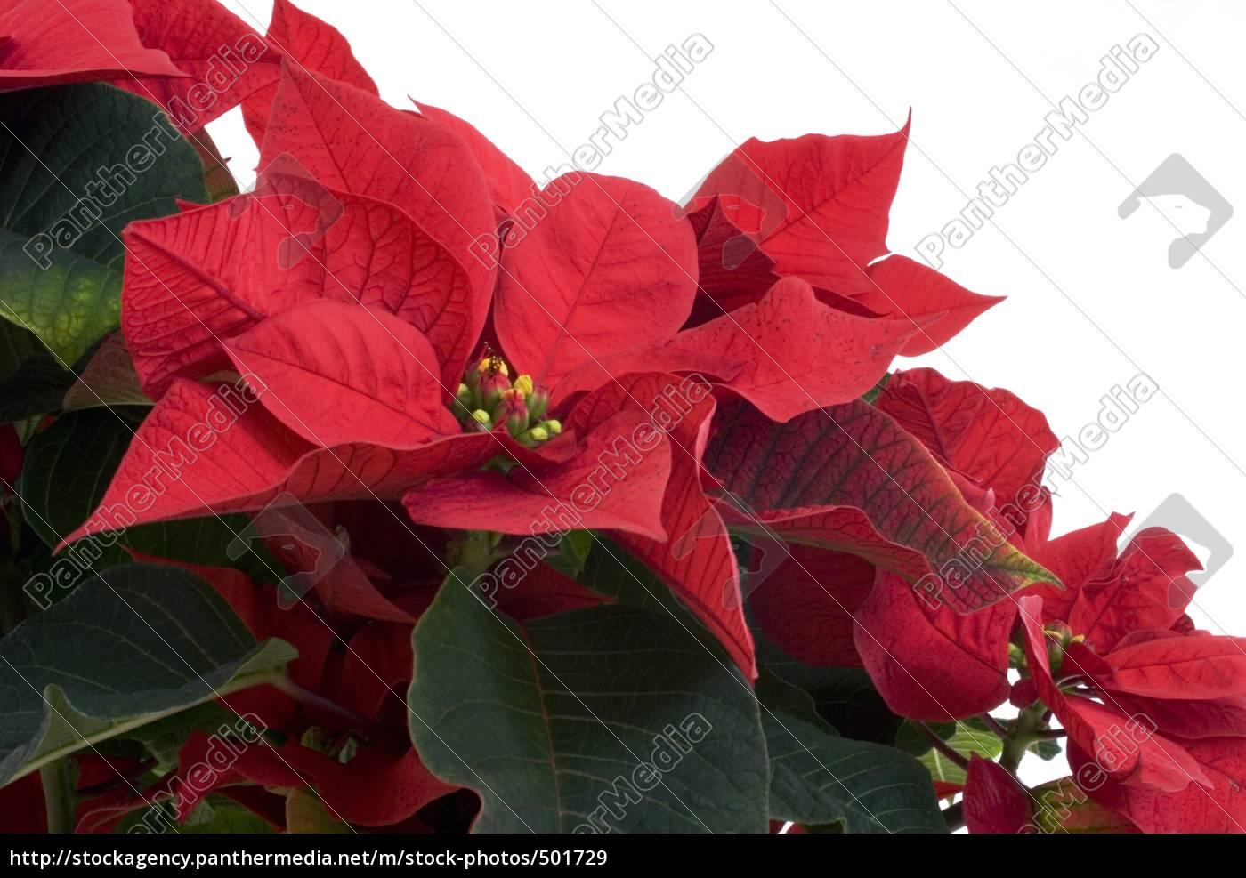 christmas, star - 501729