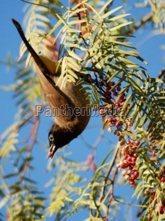gelbsteissbuelbuel l in pepper tree