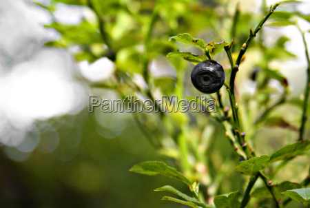 lonely, bilberry - 503980