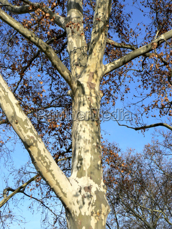 london plane in late autumn 1