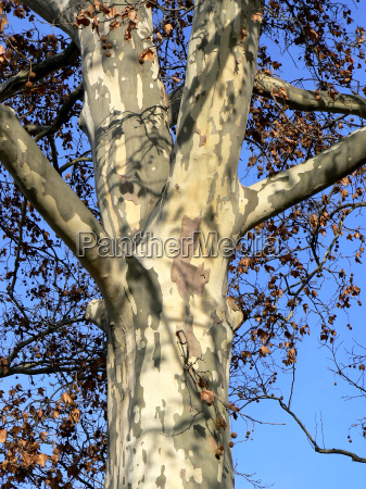 london plane in late autumn 2