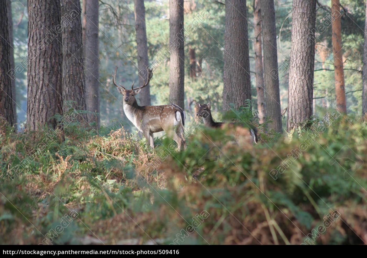 deer, in, the, woods - 509416