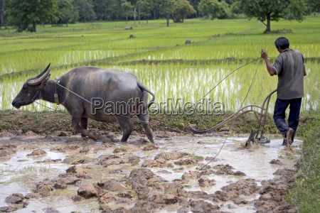 plowing, with, water, buffalo - 509530