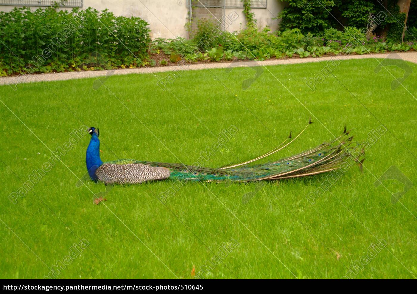peacock - 510645
