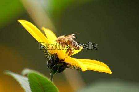 honey, bee, (apis, mellifera) - 512832