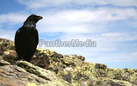 raven no 1
