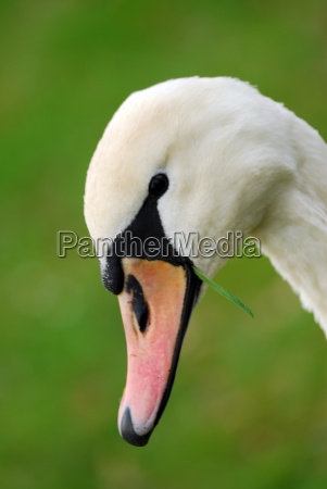 swan with grass