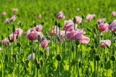 poppy field in the wind