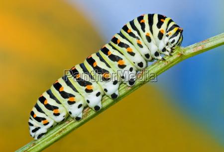 caterpillar of the swallowtail