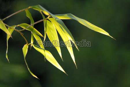 bamboo, phyllostachys, ... - 516393
