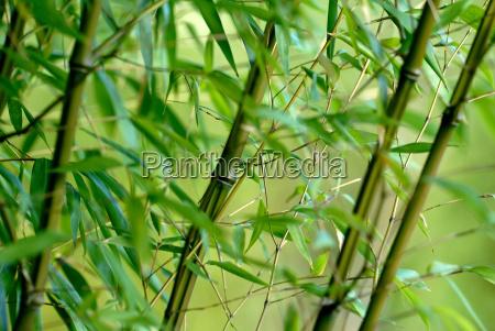 bamboo, phyllostachys, iridescens - 516146